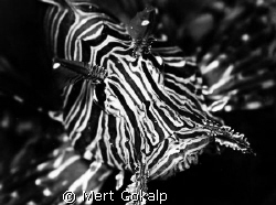 Black and White Lionfish from mombasa by Mert Gokalp 